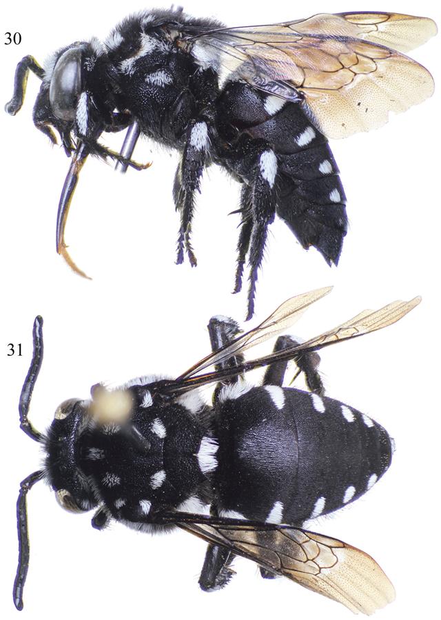 Femelle Thyreus aistleitneri