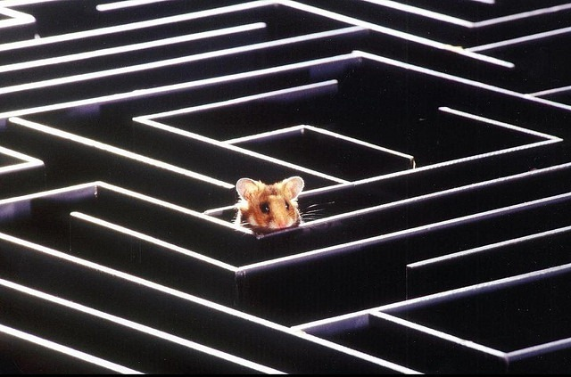 labyrinthe-souris