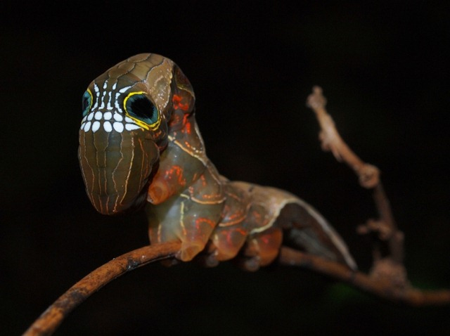 chenille-Phyllodes imperialis2