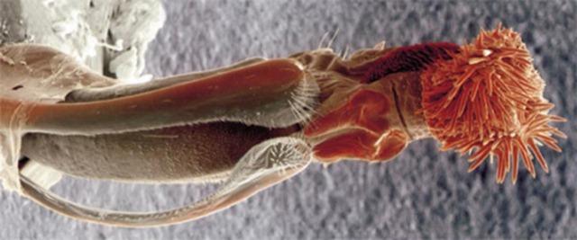 """Les douloureux pénis de certains coléoptères ont engendré une """"course à l'armement sexuel"""""""
