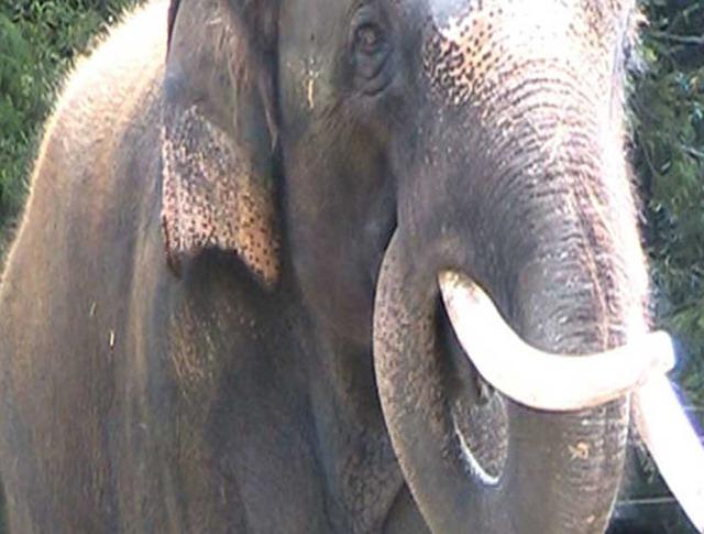 elephant-koshik