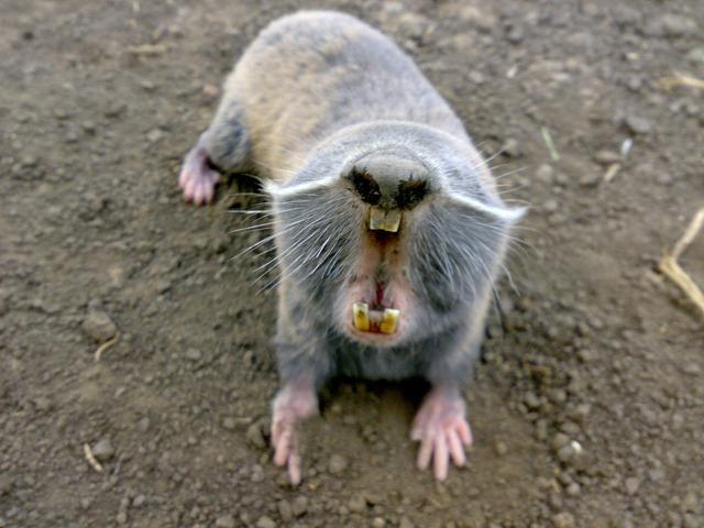 rat-taupe2_thumb.jpg