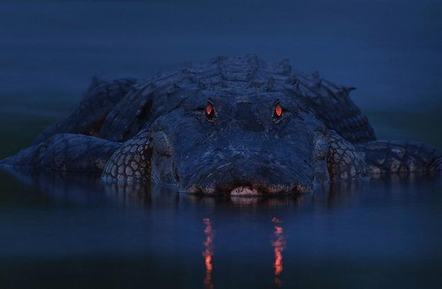 Alligator-Floride