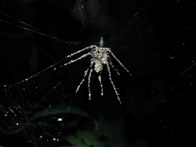 Cyclosa-araignée-leurre2