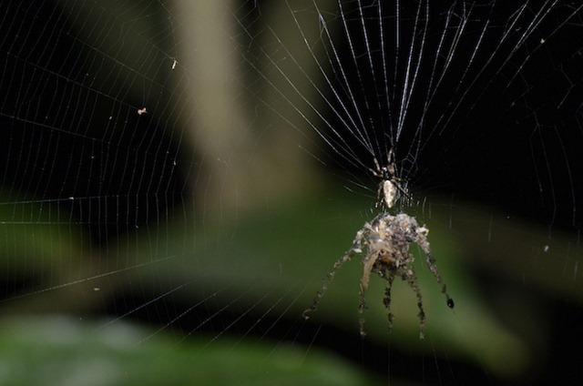 Cyclosa-araignée-leurre