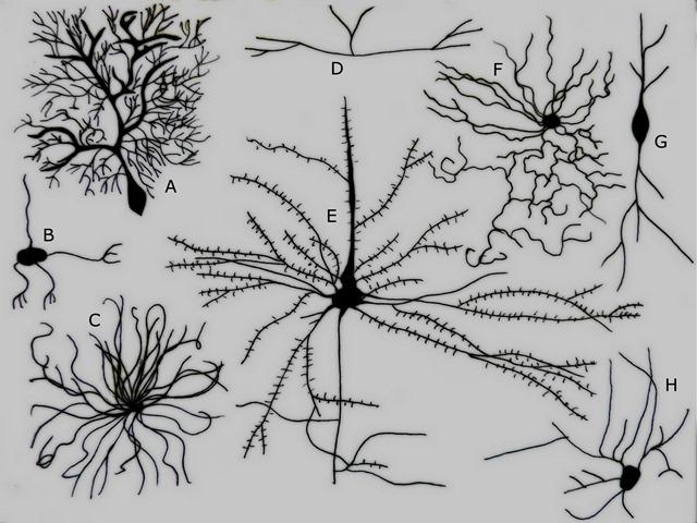 types-neurone-Golgi_thumb.jpg