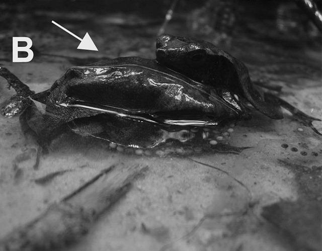 Rhinella proboscidea-nécrophile3