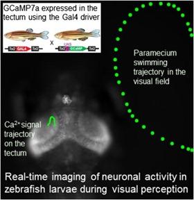 activité-neurale-poisson-zèbre