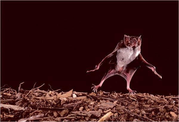 Les chauves souris vampire pr f rent les jeunes manchots - Chauve souri vampire ...