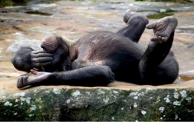 chimpanzé12