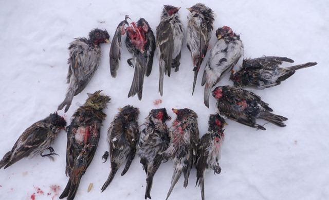 passereau-morts-mésanges