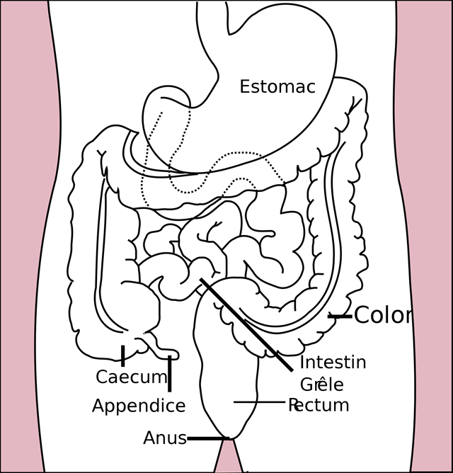 représentation-colon-caecum-appendice