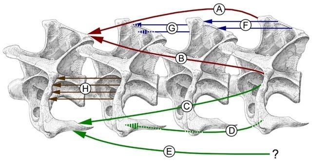 sauropode-myologie-cou