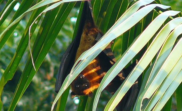 Indian-Flying-Fox2.jpg
