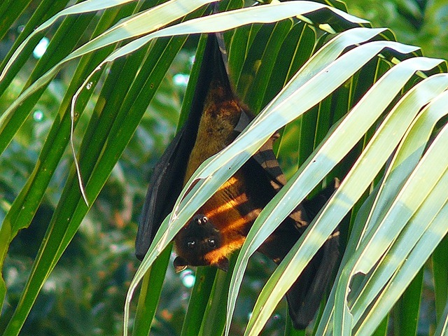 Indian-Flying-Fox2_thumb.jpg