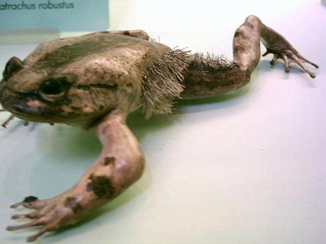 Trichobatrachus-robustus-1_thumb.jpg