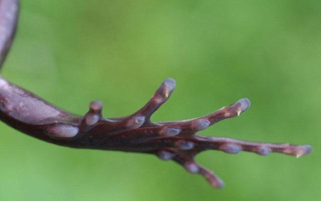 Trichobatrachus robustus-griffes 1