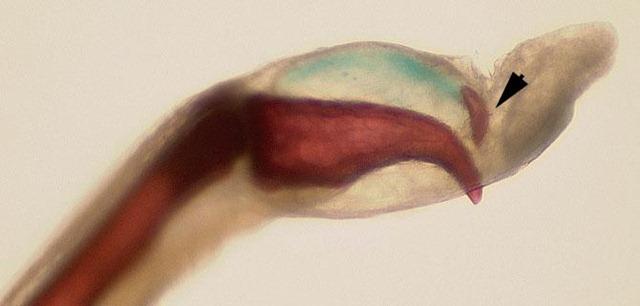 Trichobatrachus robustus-griffes 2
