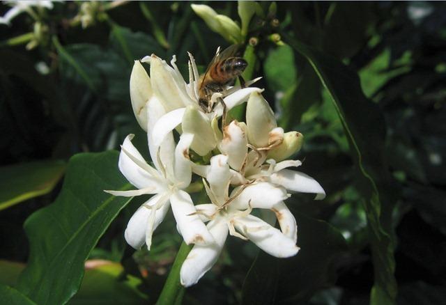abeille-café2