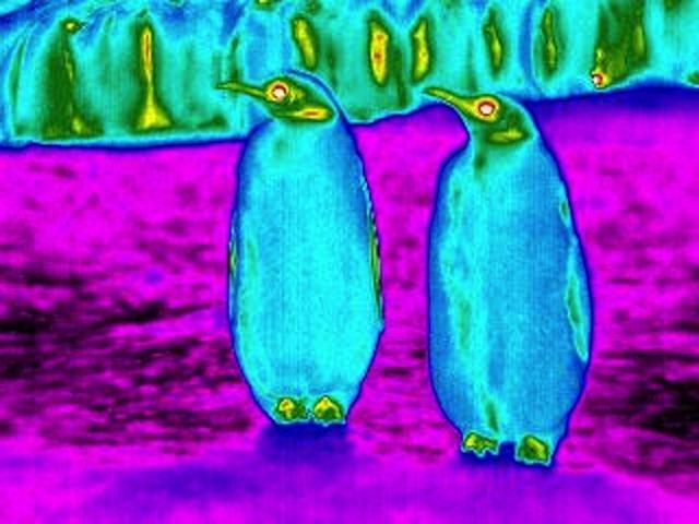 manchots-infrarouge2