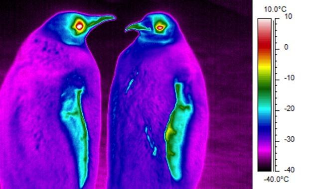 manchots-infrarouge4_thumb.jpg