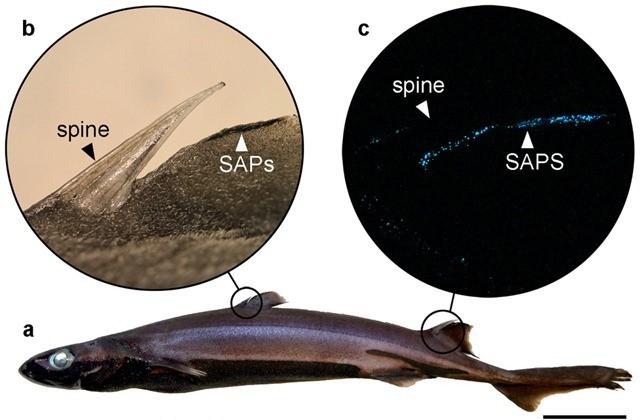 La bioluminescence donne au sagre ses sabres laser et son invisibilité