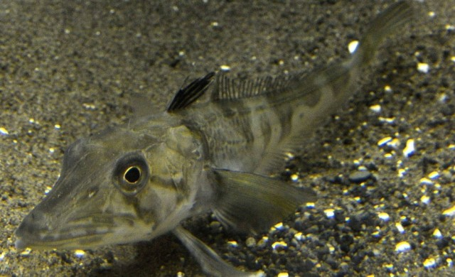 Chionodraco-rastrospinosus.jpg