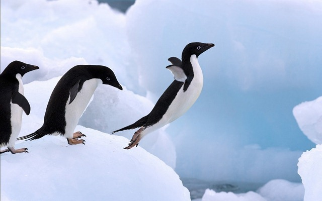 104111-penguins-lovers-flying-penguin_thumb.jpg