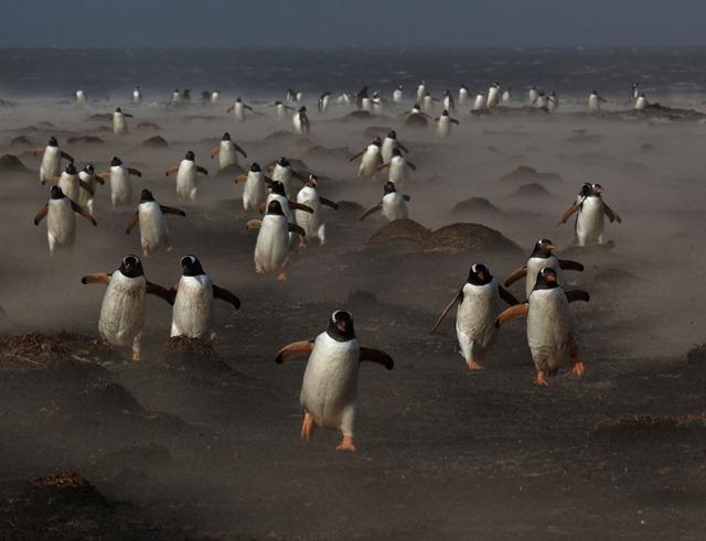 Manchot-Falkland