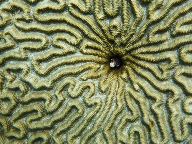 poisson-goby