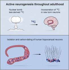 Neurone-C14-nucléaire