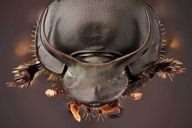 Onthophagus-taurus1_thumb.jpg