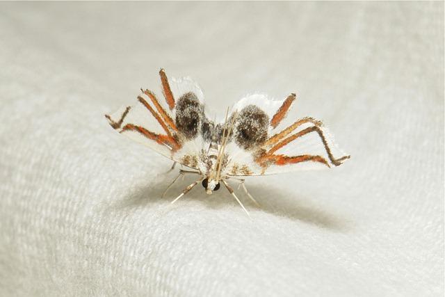 Siamusotima-aranea-Musotiminae-Crambidae_thumb.jpg