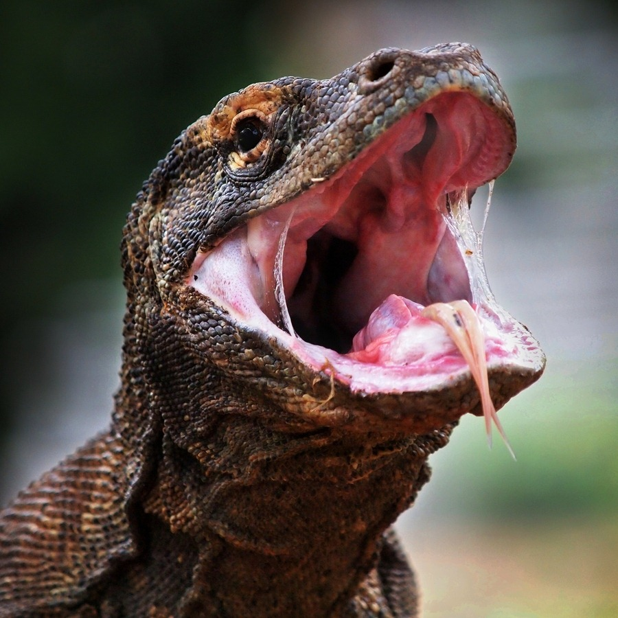Komodo Dragon Teeth | www.imgkid.com - The Image Kid Has It!