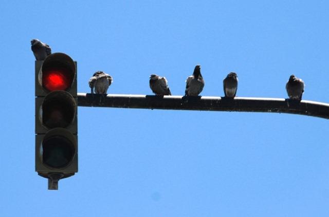 pigeon-feux-rouge_thumb.jpg