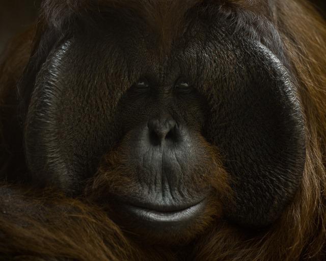 orangs-outans1_thumb.jpg