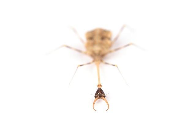 larve-fourmilions1_thumb.jpg