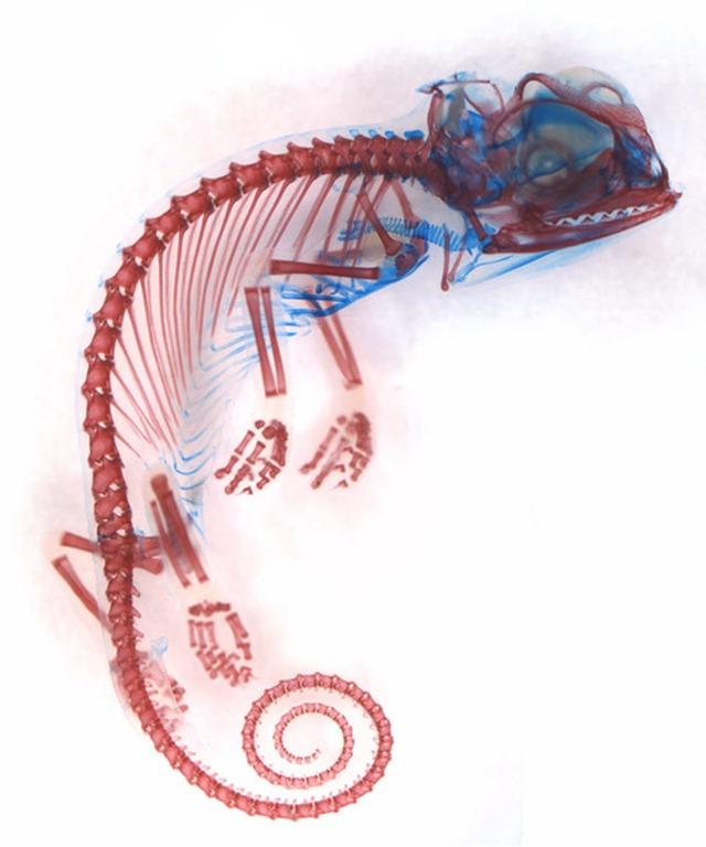 6_Dorit-Hockman_embryon caméléon -Chamaeleo calyptratus