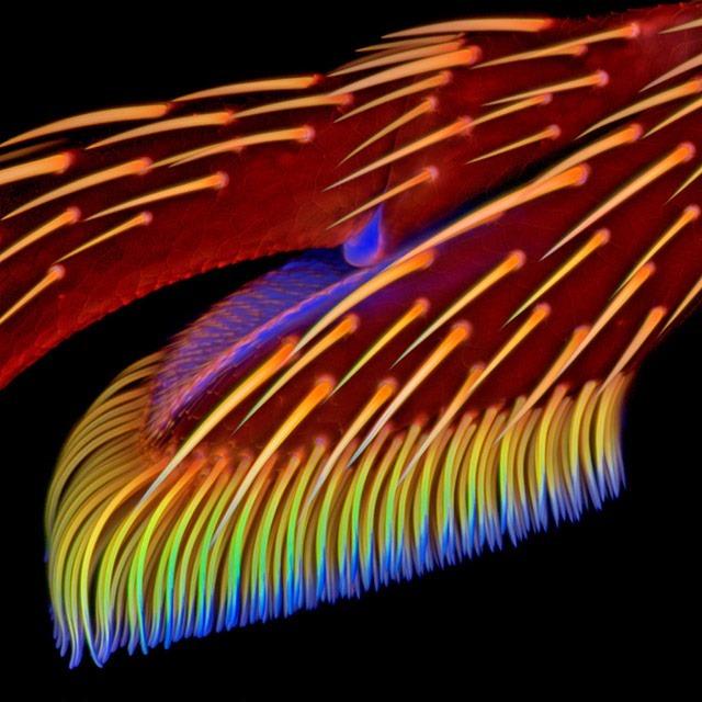 7_Jan_Michels_patte adhésive-Coccinella septempunctata