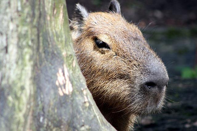 Capibara2_thumb.jpg