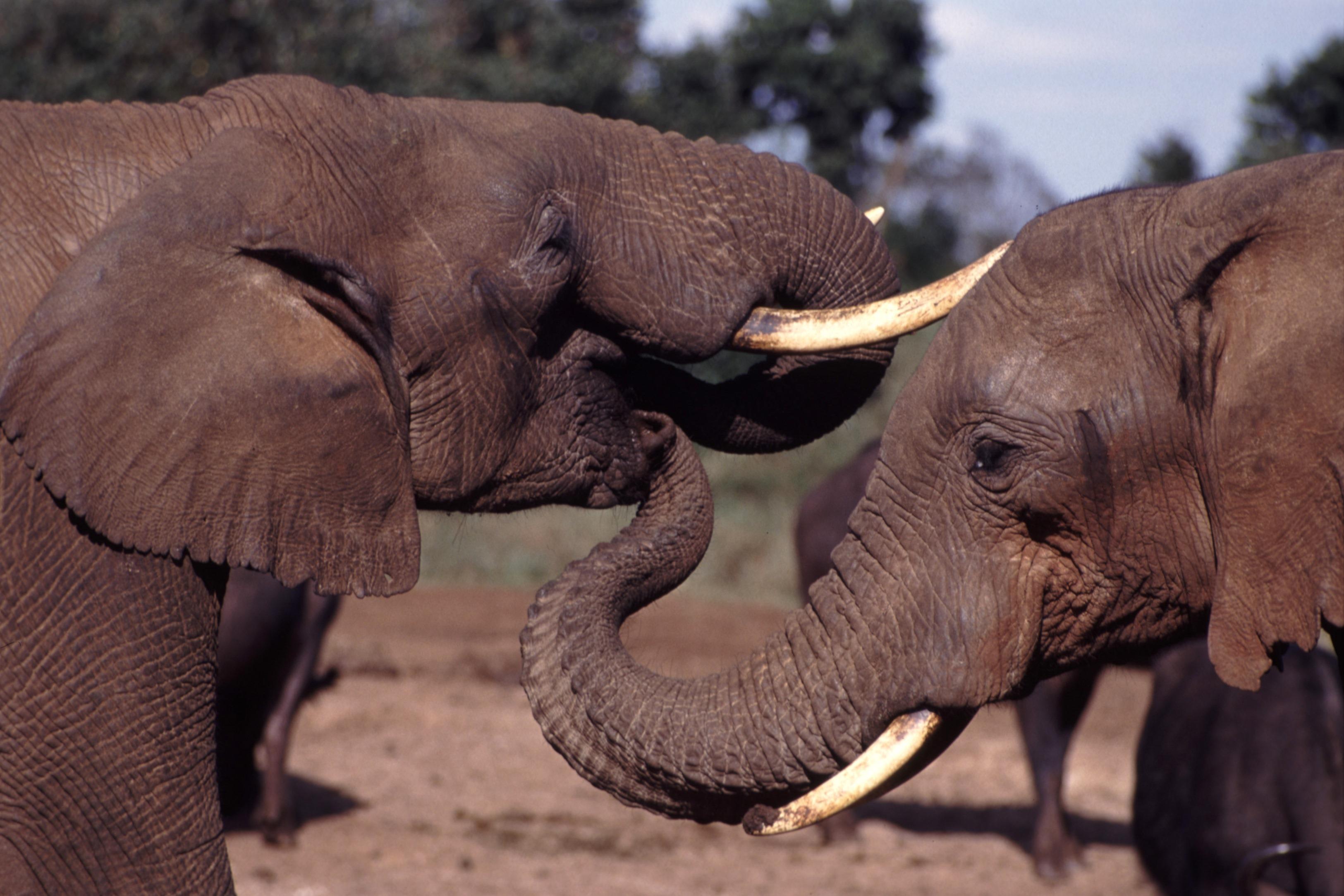 Comment les éléphants rassurent-ils leurs congénères en détresse (Vidéo)