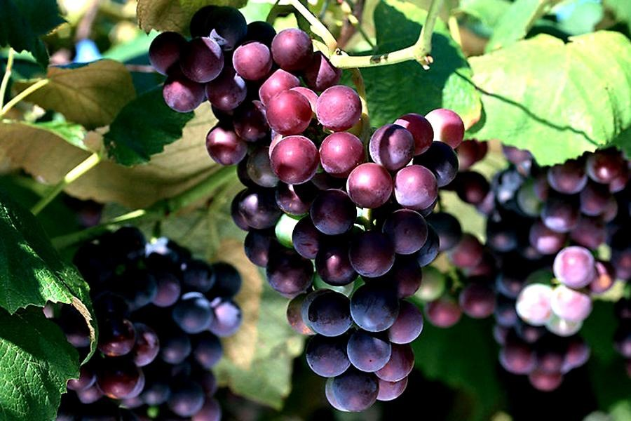 Vitis_vinifera.jpg