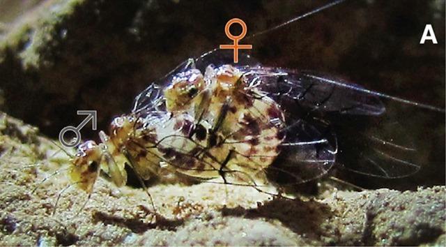 Neotrogla-gynosome3_thumb.jpg