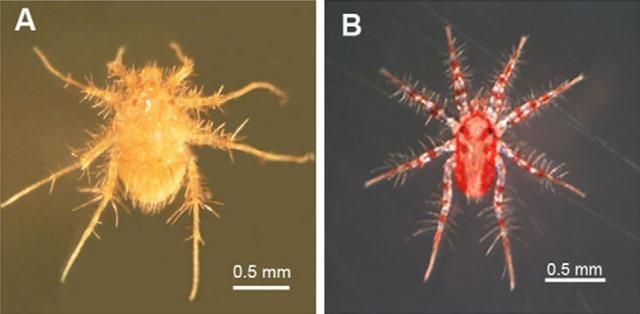 Paratarsotomus-macropalpis2_thumb.jpg