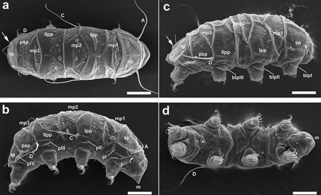 tardigrade-Mopsechiniscus-franciscae.jpg