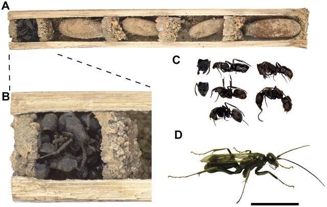Deuteragenia-ossarium-cadavres-fourmis_thumb.jpg