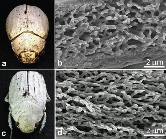 Cyphochilus-Lepidiota-stigma-Scanning-electron-micrographs_thumb.jpg