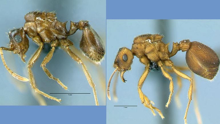 Une espèce de fourmis parasites semble avoir bifurqué de sa branche dans l'arbre de l'évolution sans quitter son domicile…