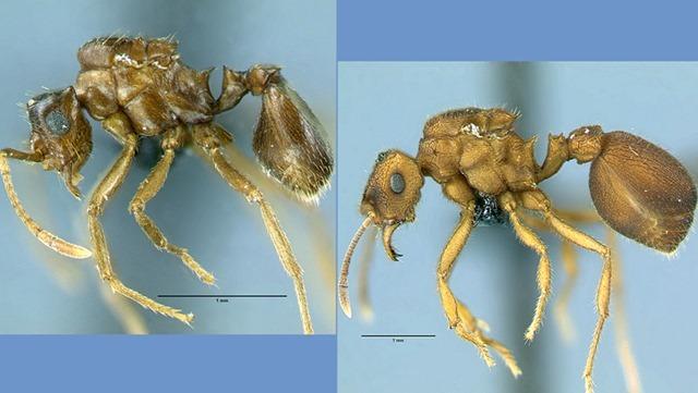 Mycocepurus-goeldii-Mycocepurus-castrator_thumb.jpg