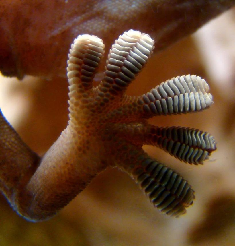 gecko-pied-setae.jpg
